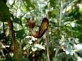 aristolochia (8)