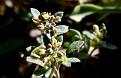 Clypeola jonthlaspi subsp  microcarpa (7)