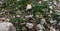 Romulea columnae (40)