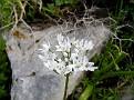 Allium neopolitanum (2)
