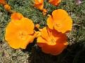 Poppy Reserve2008 036.jpg
