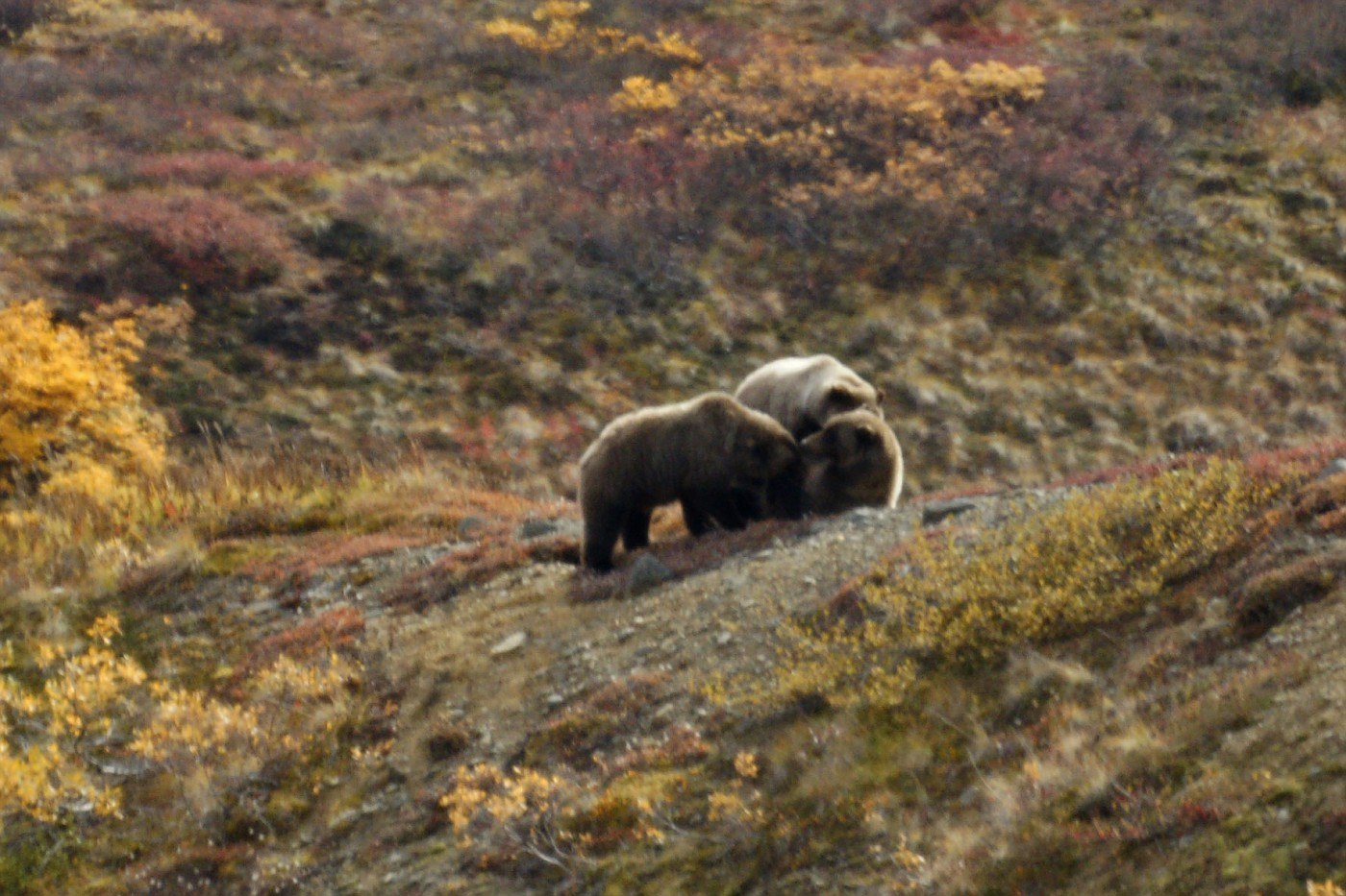 Grizzly Family-Nursing 3yr olds-1-rs