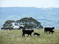 Moving cattle on Yarras Lane farm