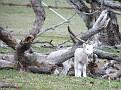 Lambs playing on Yarras Lane Bathurst 002