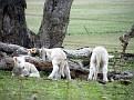 Lambs playing on Yarras Lane Bathurst 012