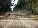 Droving a mob of sheep in the Pilliga 004