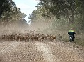 Droving a mob of sheep in the Pilliga 011