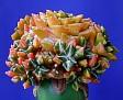 Ariocarpus kotchoubeyanus variegata (10)
