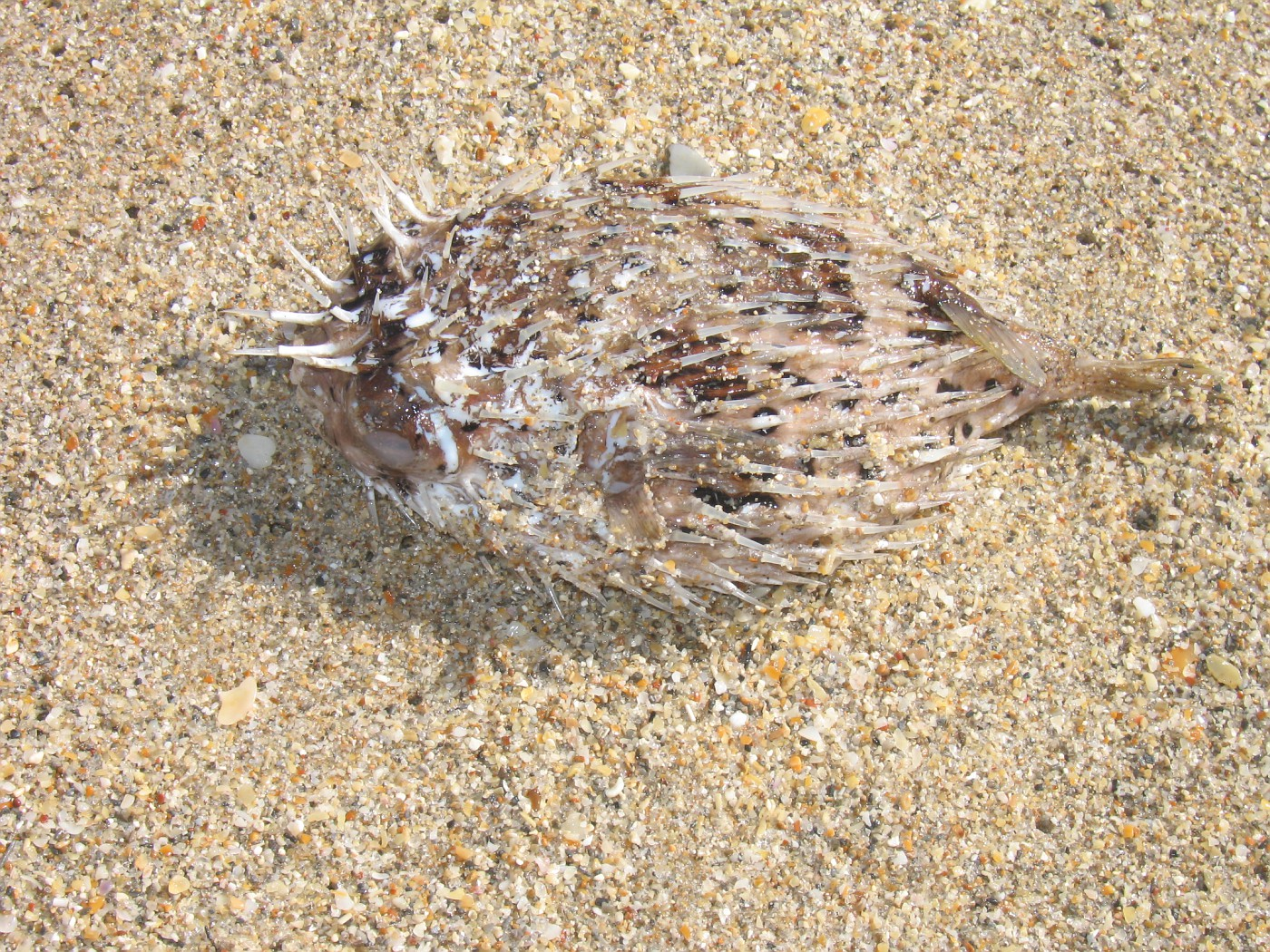 Photo puffer fish ft lauderdale florida day 4 for Puffer fish florida