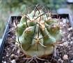 Eriosyce combarbalensis