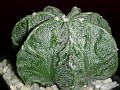 Astrophytum kyo-ryu 恐竜