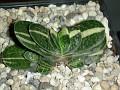 Gasteria sp. variegata