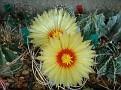 Astrophytum capricorne v  crassispinoides -Microonda Coah st Lucia