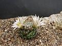 Mammillaria coahuilensis ssp. albiarmata