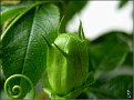 DSCN1515 Passiflora 'Byte' 05 08 12