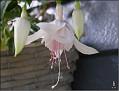 DSCN1532 Fuchsia sp  05 08 12 x