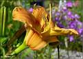 DSCN1435 Hemerocallis sp  (Steinli Hagesenter 2009)