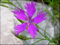 Dianthus from Shawn