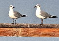 """from one Laughing Gull to another: """"you are cute"""""""
