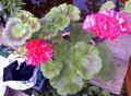 Pelargonium sp