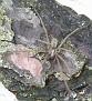 Tegenaria atrica or T. domestica [Stor Husedderkopp eller Husedderkopp]