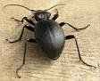 Cychrus caraboides - Snegledreper