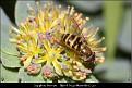 Syrphus torvus - Håret Hageblomsterflue