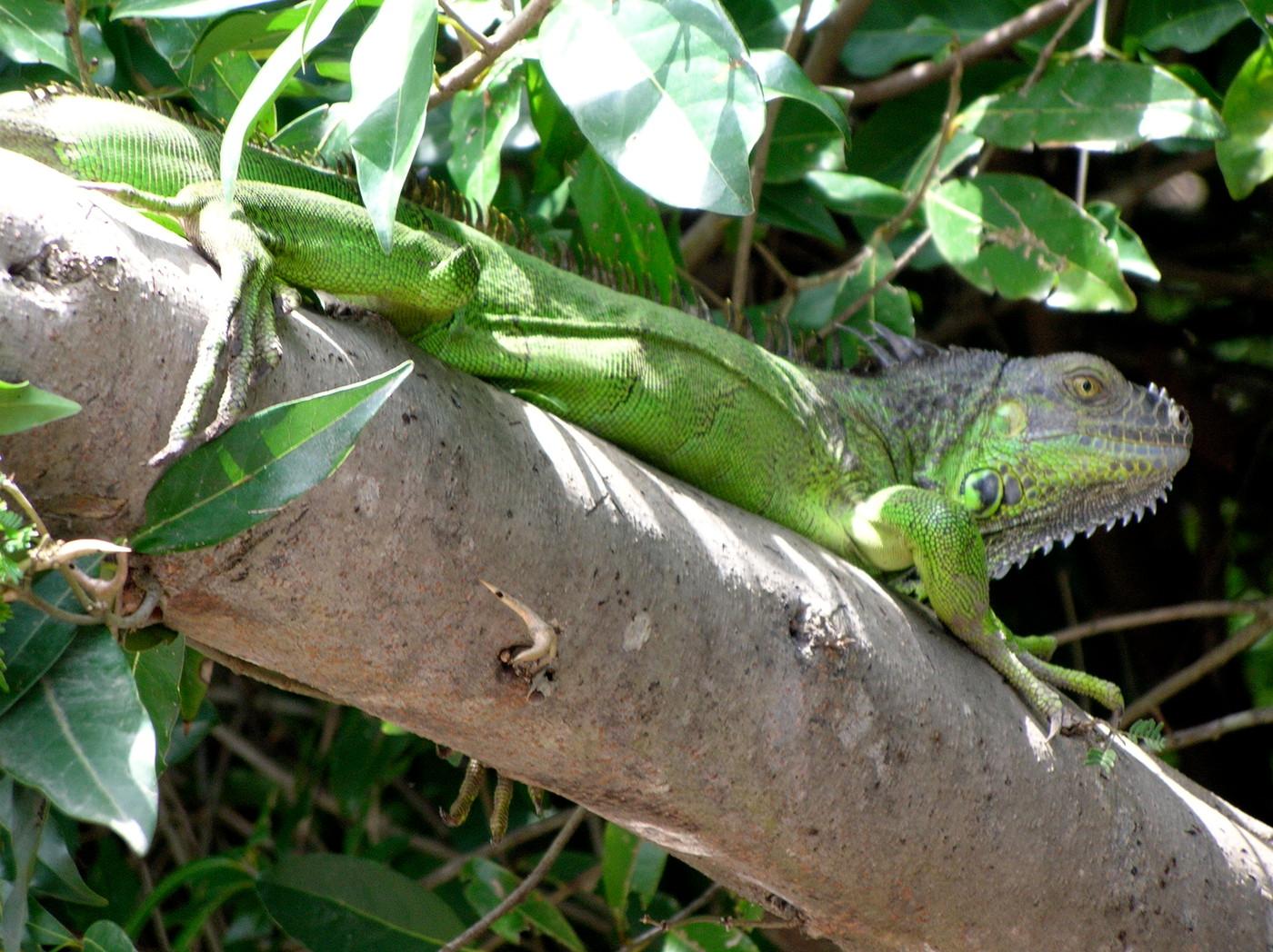 IguanaGRN#2:PaloVerde-CR