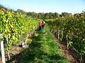 Grape Picking at Natali's Vineyard 10-21-09 (18)