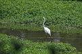 Great Egret #13