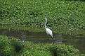 Great Egret #13