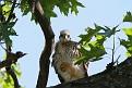 Hawk chick #2