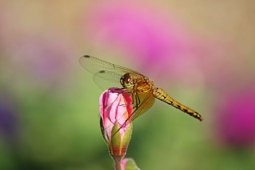 Bandwinged Meadowhawk #12