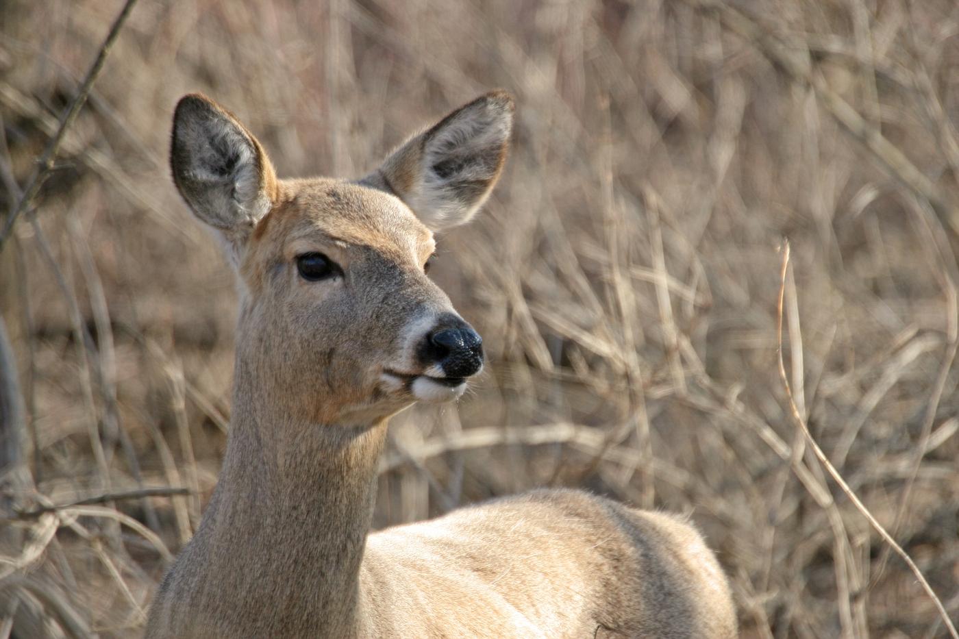 Spring Deer 3