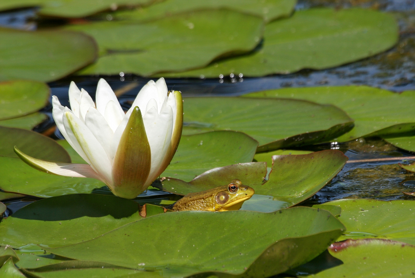 Lily Pad Frogs #5