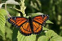 Spread Winged Viceroy