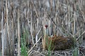 Sandhill Crane Chick - Climbing Through Mom's Feathers