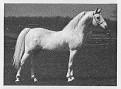 SHALIMAR GIDASON #19385 (Shalimar Flaraff x Shalimar Gida, by Garaff) 1961-1991 grey stallion Bred by Dr. Bill Munson/Shalimar Farms; Sired 122 registered purebreds