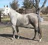 SHALIMAR CARRIE #573138 (Shalimar Jerome x Shalimar Capri) 1999 grey mare