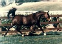 SURA LARK #23530 (Sureyn x La Platita, by Caravan) 1962 bay mare bred by Jedel Arabian Ranch; produced 10 registered purebreds