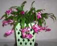 christmas cactus 100 6709
