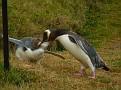 Penguin Feeding baby