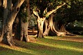 Moreton Bay Fig Trees @ Gawler