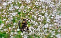 Бронзовка Перекати поле цветет Beetle Tumbleweed DSC6900 1