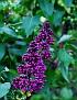 Сирень Lilac DSC 1361 025 4 1 2