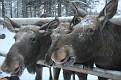 Vittangi Moose Park (11)