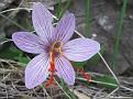 Crocus cartwrightianus (2)