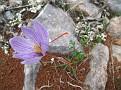 Crocus cartwrightianus (8)