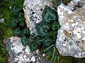 Cyclamen graecum (13)-001
