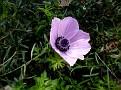 Anemone (7)